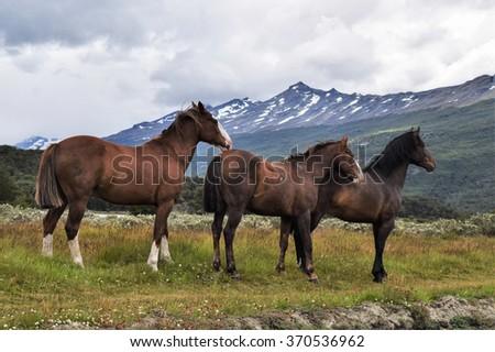 Wild Horses in Patagonia - stock photo
