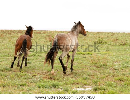 Wild horses in the American West, running on the plains - stock photo