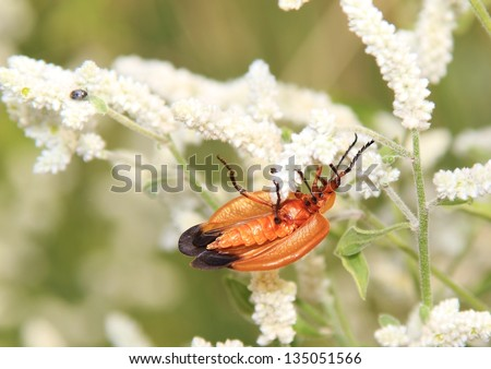 Wild insects and flowers from Africa - The Combretum bug on White Foam, or Whitehead flowers during bloom - Interestingly, this insect uses its camouflage to hide from predators, as a tree seed. - stock photo