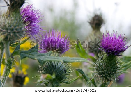 wild Irish thistle growing in the countryside fields - stock photo