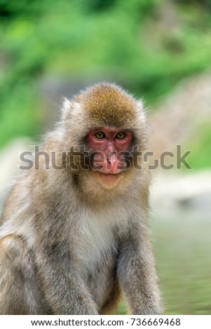 Wild japanese Macaque (Macaca Fuscata) or Snow monkey. Jigokudani, Nagano Prefecture, Japan