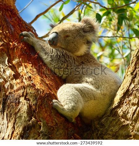 Wild Koalas along Great Ocean Road, Victoria, Australia - stock photo