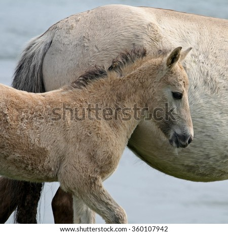 Wild Konik horse foal with its mother - stock photo