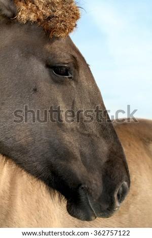 Wild Konik horse portrait - stock photo