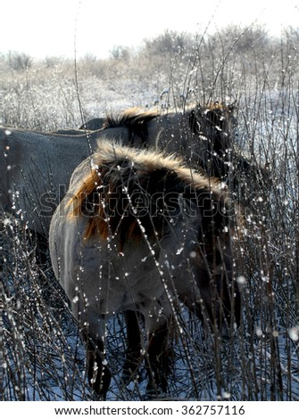 Wild konik horses in the snow in winter - stock photo
