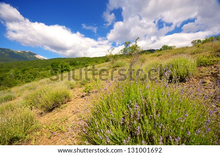 Wild lavender flowers in Crimean mountains