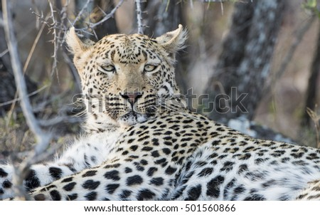 Wild Leopard (Panthera pardus) Resting in Brush in South Africa