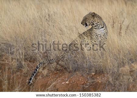 Wild leopard sitting in yellow grass - stock photo
