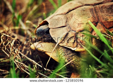 Wild Leopard tortoise close up. Safari in Tanzania, Africa