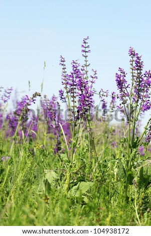wild lilac flowers - stock photo