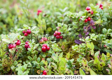 Wild lingonberries growing among leafes in swedish forest. - stock photo