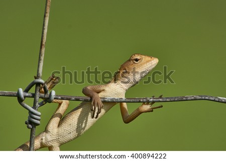 wild lizard hanging on a cyclone fence