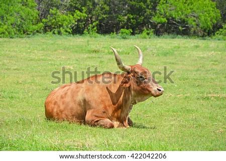 Wild longhorn bull standing in grassy field - stock photo