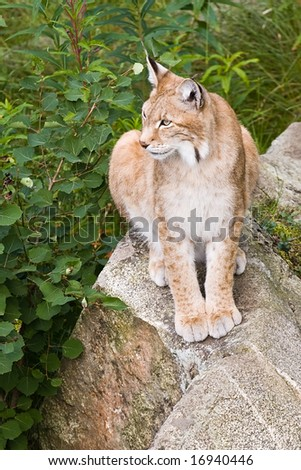 wild lynx sitting on the rock. high angle view. - stock photo