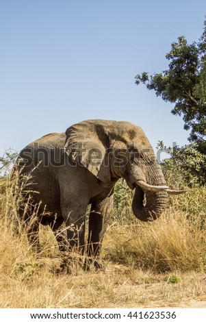 wild male african bush elephant in Kruger National Park, South Africa - stock photo