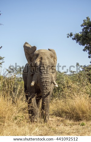 wild male african bush elephant starting to charge, in Kruger national park, South Africa - stock photo