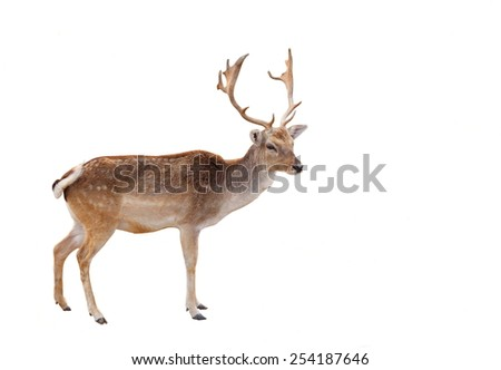 Wild Male elk, deer with long antlers in the forest isolated on white clean background with no people, Photo was shot in natural landscape - stock photo