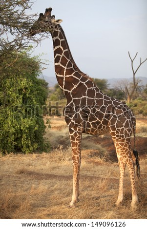 Wild male reticulated giraffe browsing a tree - stock photo