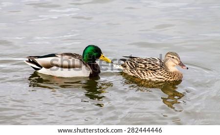 Wild Mallard Duck (Anas platyrhynchos) couple, swimming together on the water. - stock photo
