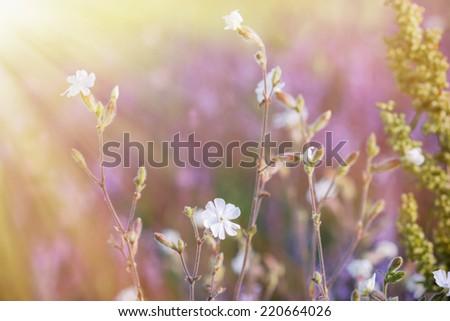 Wild meadow flower - white flowers - stock photo