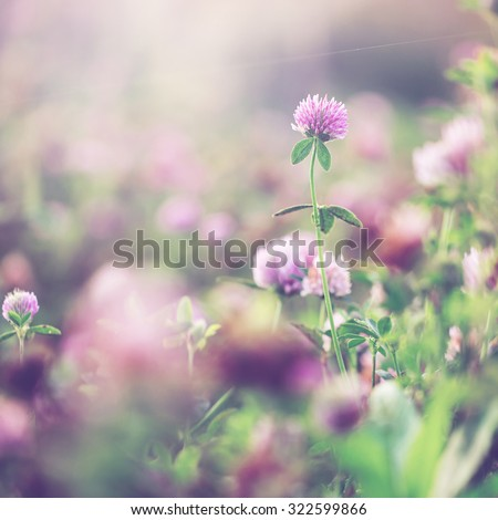 wild meadow pink clover flower in green grass in field in natural soft sunlight, Autumn outdoor vintage photo with pastel colors and romantic atmosphere  - stock photo
