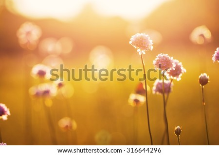 wild meadow pink flowers on morning sunlight background. Autumn field background - stock photo