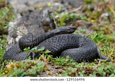 wild melanistic aspid viper (Vipera aspis atra) - stock photo