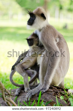 Wild monkey embraces her baby, Asia, Sri Lanka - stock photo