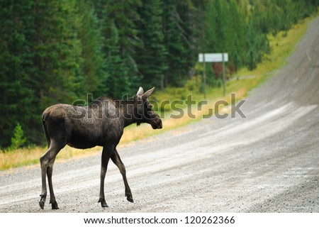 Wild Moose crossing a gravel road, Kananaskis Country Alberta Canada - stock photo