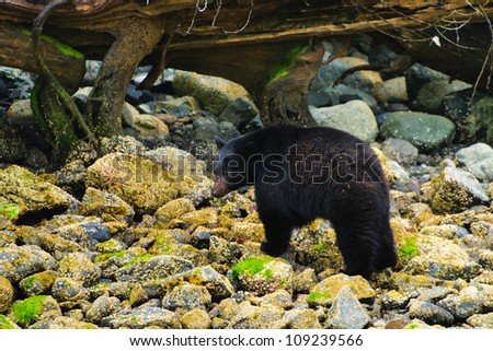 Wild mother Black Bear and her cubs feeding on the shoreline of the Pacific Ocean, Tofino British Columbia, Canada - stock photo