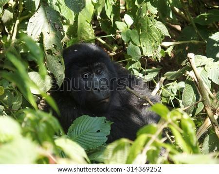 Wild Mountain female Gorilla in Uganda  - stock photo