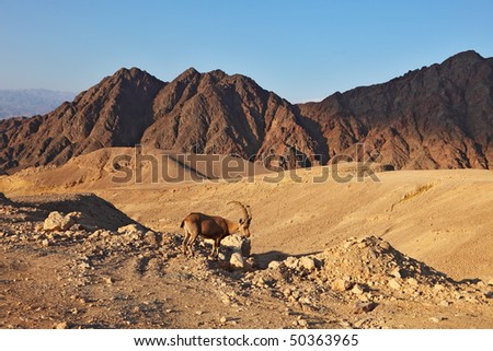 Wild mountain goat in picturesque stone desert. Israel, mountains of Eilat, coast of Red sea