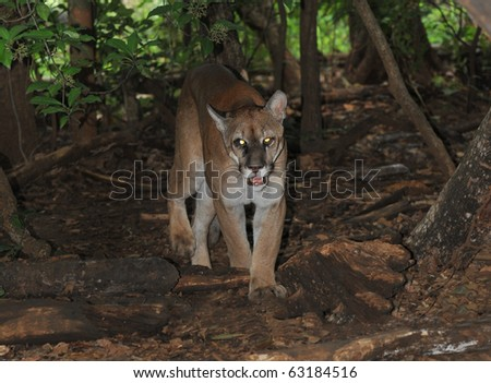 wild mountain lion / puma / cougar photographed with remote camera, guatemala, central america. stealthy predator carnivore hunter moving thru tropical rainforest jungle similar jaguar - stock photo