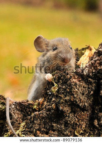 Wild mouse catched in autumn forest. - stock photo