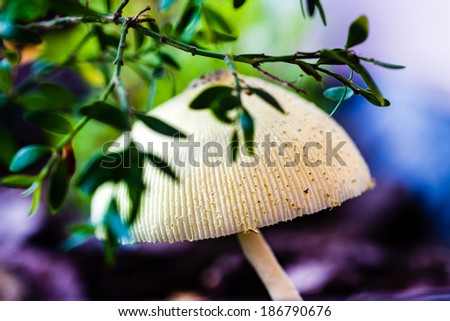Wild mushroom growing under a bush on the forest floor. Shallow depth of field. Focus on front of mushroom. - stock photo