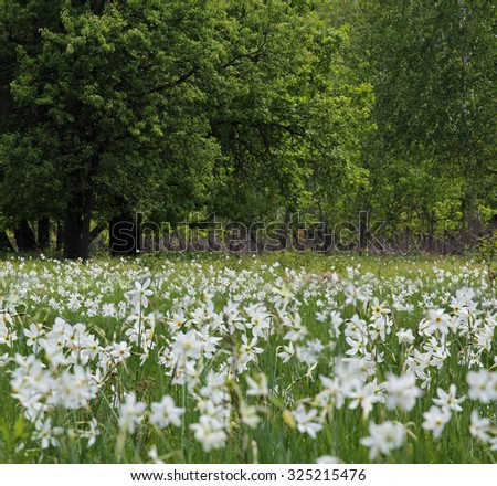 Wild narcissus flowering in the woods - stock photo