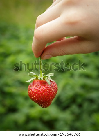 Wild Natural Red Strawberries, Strawberry in Child's Hand Fingers Selective Focus - stock photo