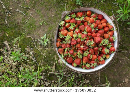 Wild Natural Red Strawberries, Strawberry in Rustic Iron Pot on Mossy Dirt Path - stock photo