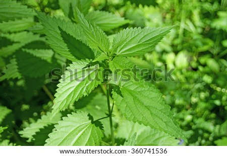 Wild nettle in summer forest - stock photo