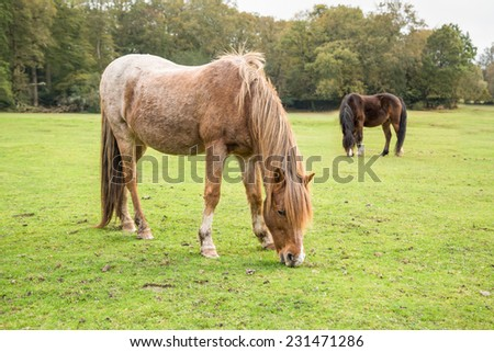 Wild, New Forest ponies, Hampshire, England - stock photo