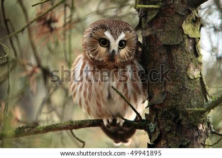 Wild Northern Saw-Whet Owl in Ontario, Canada. - stock photo
