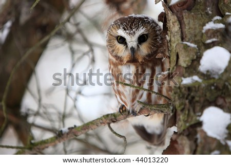 Wild Northern Saw-Whet Owl in winter. - stock photo
