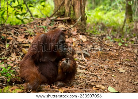 Wild orangutan in south Borneo Indonesia. - stock photo