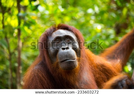 Wild Orangutan looking away in the jungle of Borneo Indonesia. - stock photo