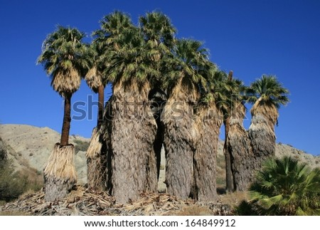 Wild palm trees in an oasis, California - stock photo