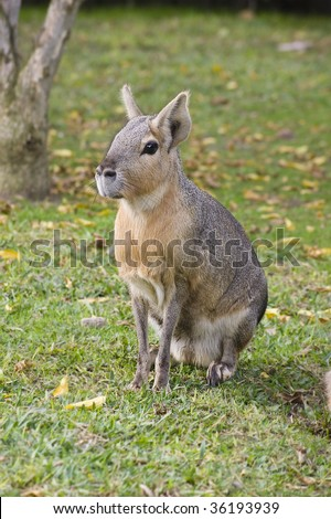 Wild patagonian hare - stock photo