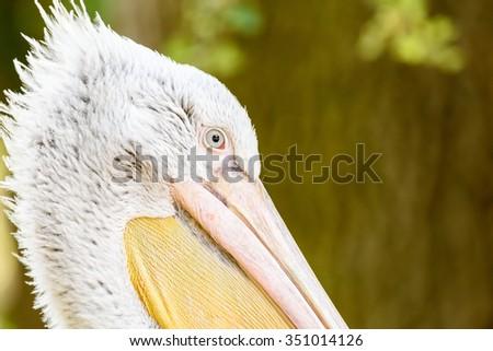 Wild Pelican Portrait In The Danube Delta - stock photo