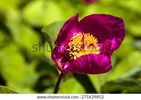 Wild peony flower close-up - stock photo