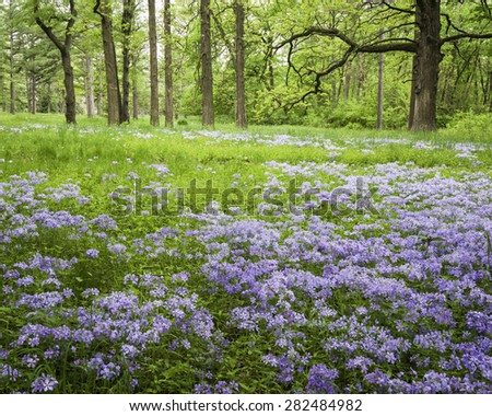 Wild phlox carpets a woodland meadow at The Morton Arboretum in Lisle, Illinois. - stock photo