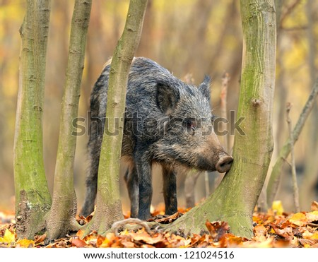 Wild pig in the autumn forest - stock photo